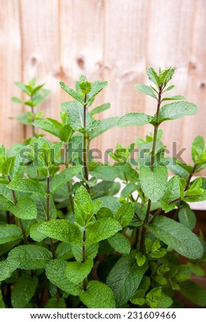 Herb - mint, growing in a domestic garden