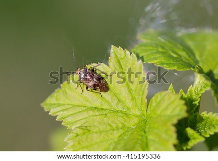 Herbal bug. Herbal bugs damage crops of cereals, legumes and other vegetable and fruit crops. Bedbugs medium or small sizes; reach a length of from 2 to 11 mm. - stock photo