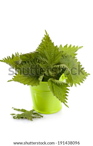 Herbal medicine: Common nettle leaves in small green bucket isolated on white background. Urtica dioica, often called common nettle or stinging nettle - stock photo