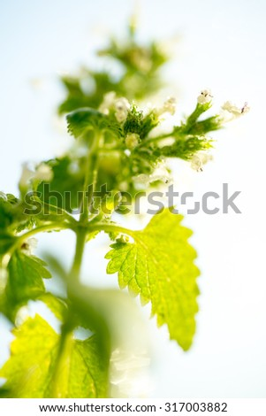 Herbal medicine series: close up of medicinal plant Melissa, soft focus - stock photo