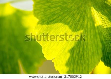 Herbal medicine series: leaf of Medicinal plant Ginko beloba, close up, soft focus - stock photo