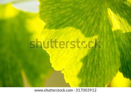 Herbal medicine series: leaf of Medicinal plant Ginko beloba, close up, soft focus - stock photo