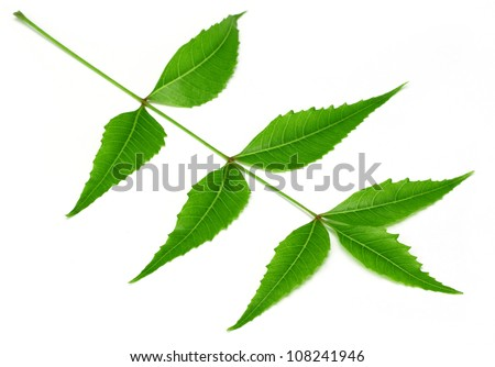 Herbal neem leaves over white background - stock photo