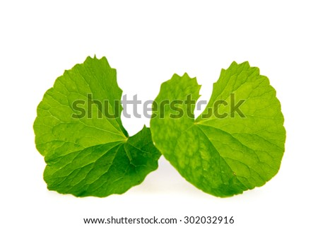 Herbal Thankuni leaves of indian subcontinent, Centella asiatica - stock photo