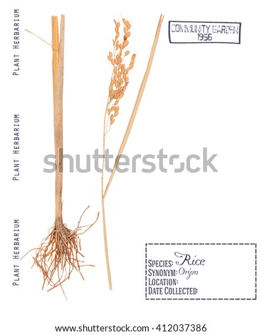 Herbarium of pressed parts cereal rice plant. Roots, stem, grain of rice isolated on white - stock photo