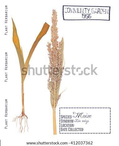 Herbarium of pressed parts of corn plant. Leaves, stem, root and inflorescence of corn isolated on white - stock photo