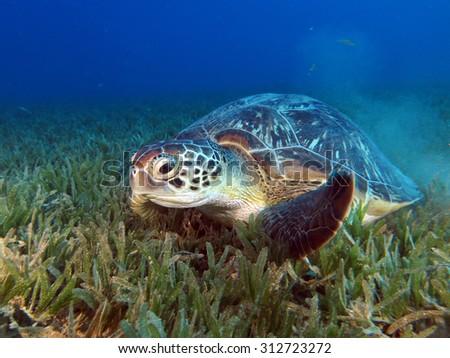 Herbivorous green sea turtle - stock photo