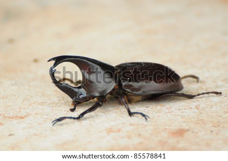 Hercules beetle, the  warrior of scarab - stock photo