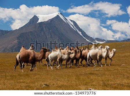 Herd camels against mountain. Altay mountains. Mongolia - stock photo