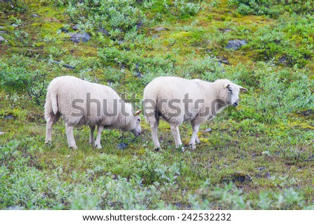 Herd flock of icelandic sheep lamb walking pasture in the meadow near farm - stock photo