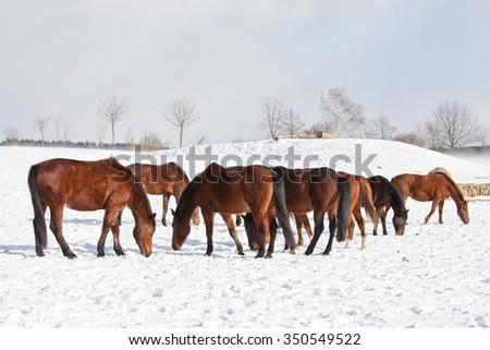 Herd horses in winter pasture - stock photo