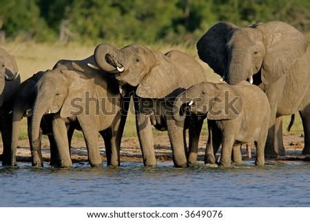 Herd of African elephants (Loxodonta africana) at a waterhole, Hwange National Park, Zimbabwe - stock photo