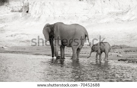 Herd of African elephants (Loxodonta Africana) drinking from the river in Botswana, black and white - stock photo