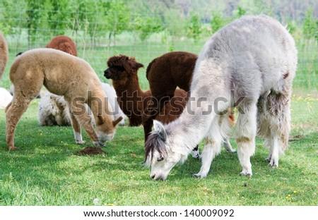 herd of alpacas - stock photo