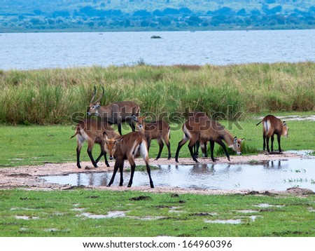 Herd of antelope is near the grass - stock photo