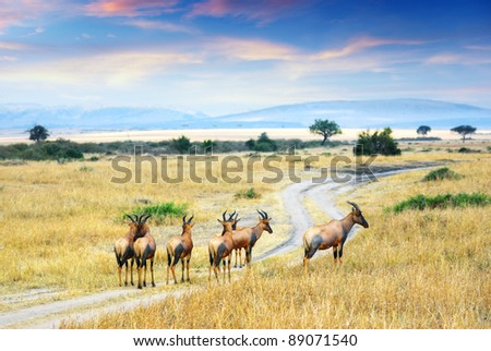 Herd of antelopes Topi in the Masai Mara national park at sunset, Kenya - stock photo