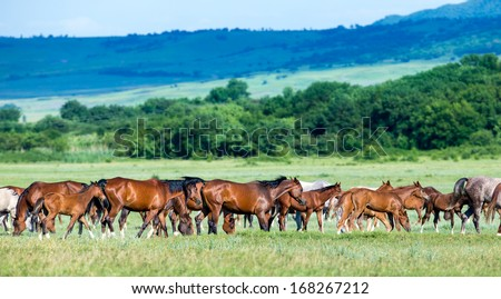 Herd of Arabian horses on the field returns home. - stock photo