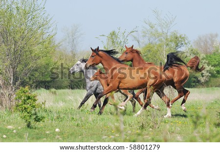 herd of arabian horses running on pasture - stock photo