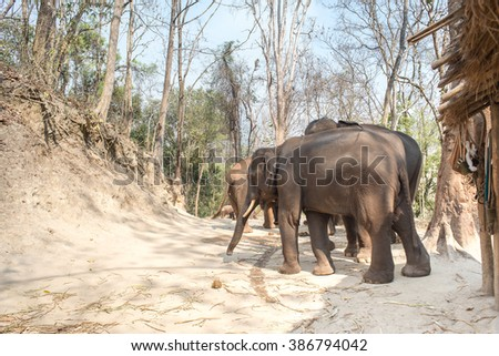 Herd of Asian Elephants in Kaew Ta Chang Waterfall , Chiangmai , Thailand - stock photo