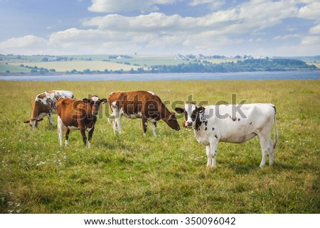 Herd of Ayrshire cows grazing in farm field at Prince Edward Island, Canada. - stock photo
