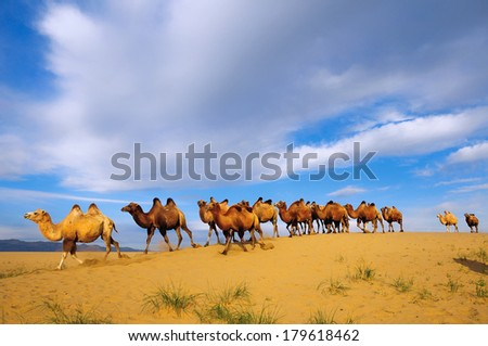 Herd of Bactrian camels (Camelus bactrianus) in the in the Gobi desert of Mongolia. Khovd province, Mongolia. - stock photo