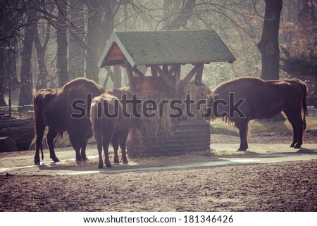 Herd of bisons in national park.  - stock photo