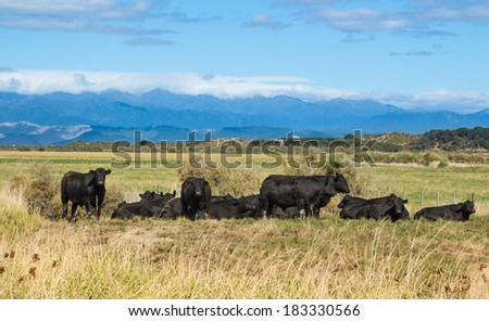Herd of black bulls have a rest in the warmth of the day. - stock photo