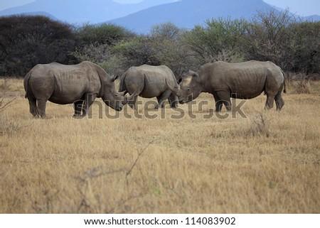 Herd of black rhinoceros - stock photo