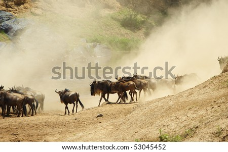 Herd of Blue wildebeest (Connochaetes taurinus) running in savannah next to the river covered in dust in South Africa - stock photo