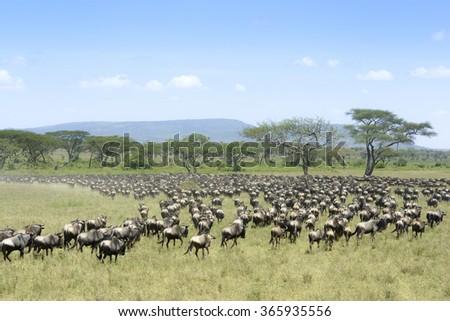 Herd of Blue Wildebeest ( Connochaetus taurinus) seen from behind, during migration, Serengeti national park, Tanzania. - stock photo