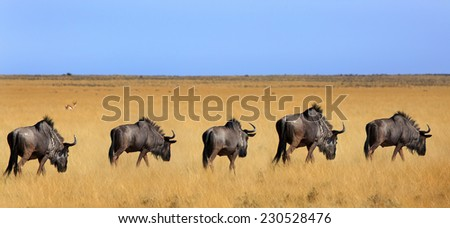 Herd of Blue Wilderness walking across the plains  - stock photo