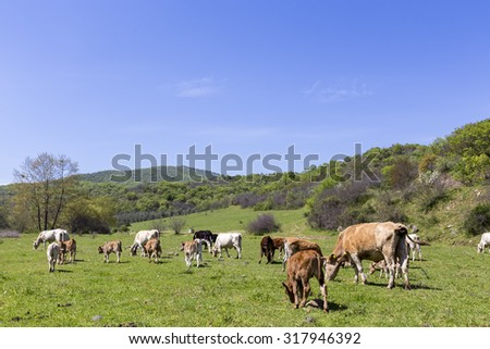 Herd of brown and white cows at summer green field - stock photo