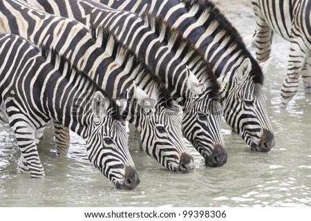 Herd of Burchells Zebra (Equus burchellii) drinking water in South Africa's Kruger Park - stock photo