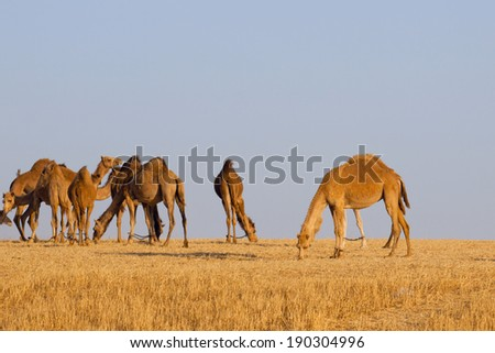 Herd of camels in the desert
