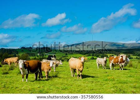Herd of Cattle on Sunny Pasture - stock photo