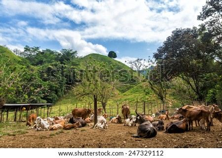 Herd of cattle with lush green hills in the background - stock photo