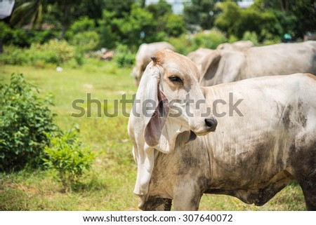 Herd of cows at summer green field in thailand - stock photo