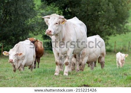 Herd of cows at the pasture