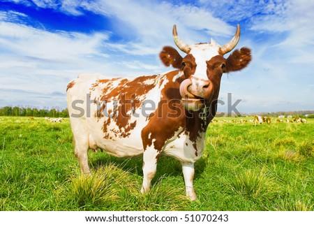 Herd of cows grazing in meadow - stock photo