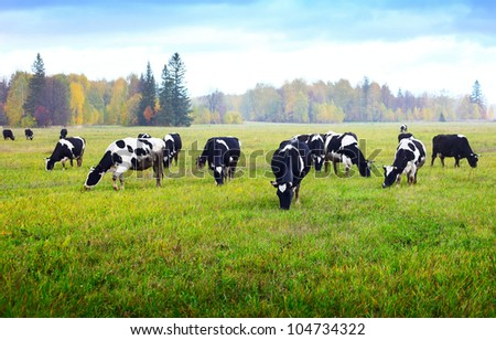 Herd of cows grazing on a green meadow with autumn forest on a background - stock photo