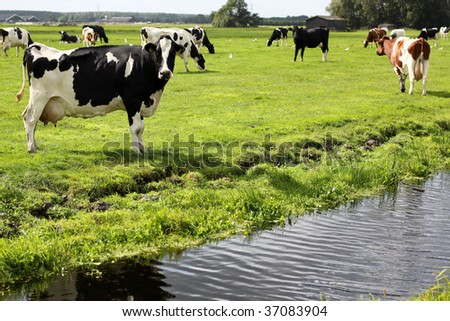 Herd of cows in a field - stock photo