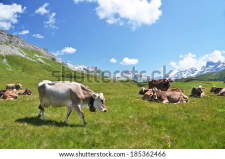Herd of cows in Alpine meadow - stock photo