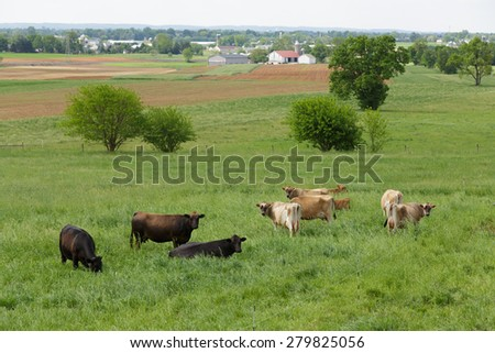Herd of cows in meadow overlooking Lancaster County, Pennsylvania  - stock photo