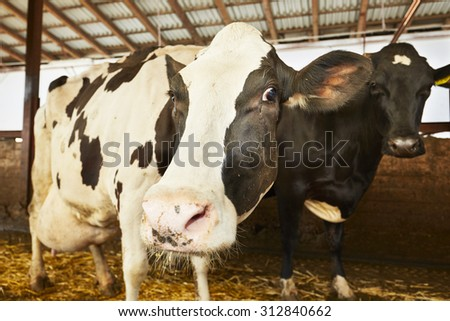 Herd of cows in the cowshed - Czech Republic