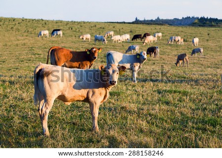 Herd of cows on green grass and evening sun, rural scene - stock photo