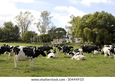 Herd of Dairy Cows on a Farm - stock photo