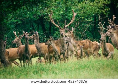 Herd of deer red - stock photo