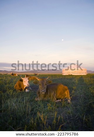 Herd of domesticated cows lying down in front of a tent in a beautiful scenic. - stock photo