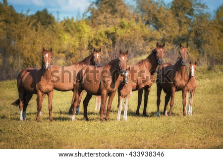 Herd of don breed horses with foals on the pasture in autumn - stock photo
