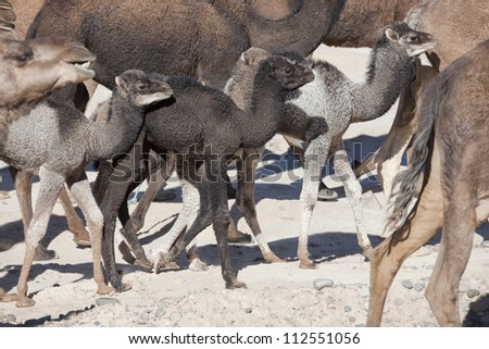 Herd of dromedaries (camels) with small dromedary babies in the Sahara desert, Morocco. - stock photo